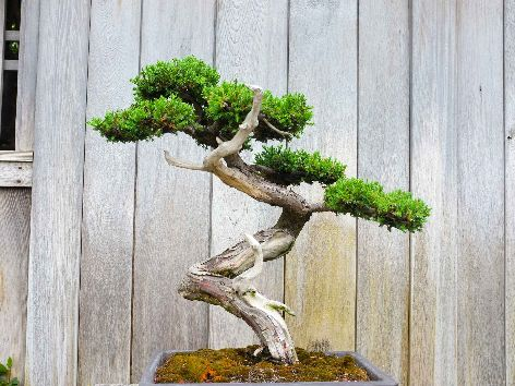 Bonsai gross